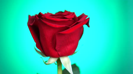 bud rose : Red rose rotated over green background. Symbol of Love. Valentine card design. Stock Footage