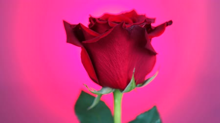 red centre : Red rose rotated over pink background. Symbol of Love. Valentine card design.