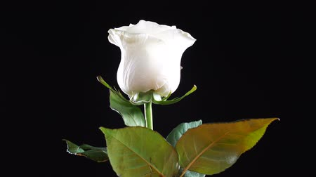 head over : White rose rotated over black background. Symbol of Love. Valentine card design. Stock Footage