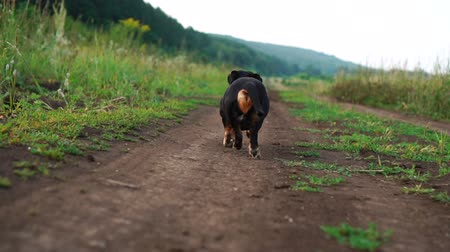 feliz : Back view of Dachshund the dog is walking along the road in nature slow motion video