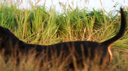 cheirando : Dachshund dog walking sniffing grass