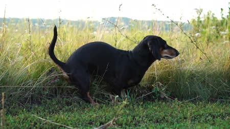 poo : Dog shitting in grass field, Dachshund shit in the park