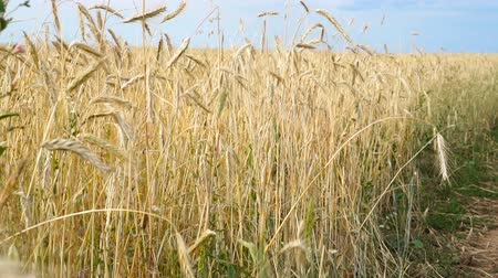 verim : Rye field at sunset, harvest background Stok Video