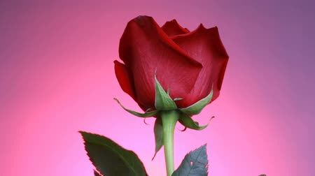 red centre : Close-up of a red rose rotates on pink background. Macro shot rose with petals. Stock Footage
