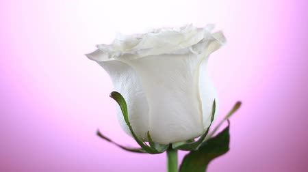 bud rose : White Rose Flower rotation close up pink background. Symbol of Love. Valentine card design. Stock Footage