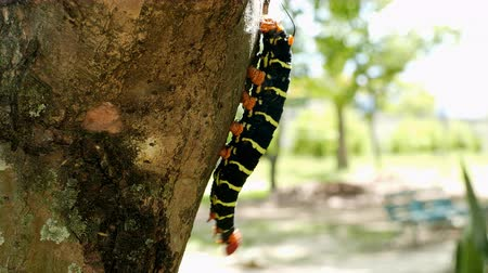 solucan : Butterfly Larva in the tree branch Stok Video
