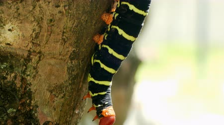 chrysalis : Butterfly Larva in the tree branch Stock Footage