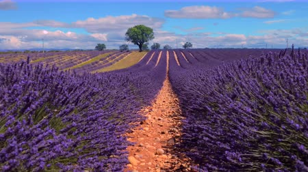 kırsal : lavender in south of France, Provence