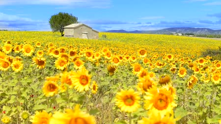 girassóis : Beautiful landscape with sunflower field over cloudy blue sky and bright sun lights Vídeos