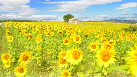francja : Beautiful landscape with sunflower field over cloudy blue sky and bright sun lights Wideo