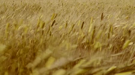legjobb : Wheat at sunset. Beautiful spikes of wheat in the wind in summer Stock mozgókép