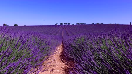 kırsal : Lavender field in Provence, near Valensole, France