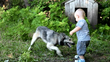 hunting dog : child playing with east siberian laika in the yard Stock Footage