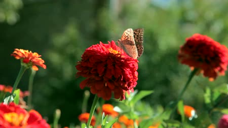 butterfly on red flower, Crimea Wideo
