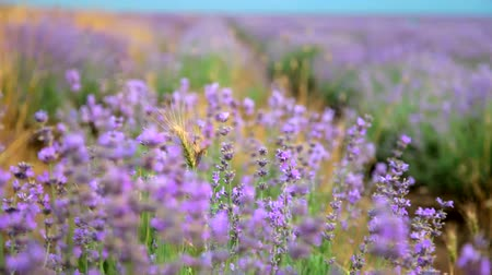 levandule : Lavender flowers in flowering field closeup