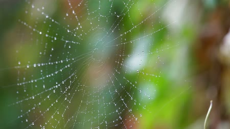Rain drops shining on a spider web closeup Wideo