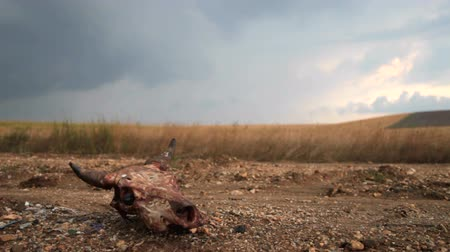 сухой : Cow skull on a dirt road through the field