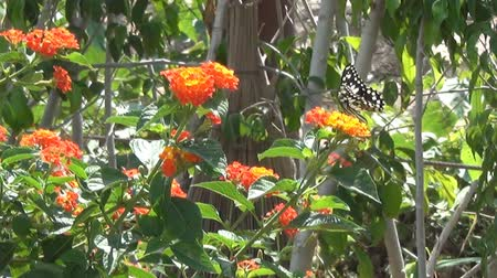 krzak : Beautiful big butterfly sits on orange flower and then fly from one flower to another. Slow motion Wideo