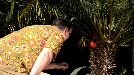 plucks : Mature man in aloha shirt accidentally finds out red apple hanging on a palm tree in city park. He plucks it and eats with pleasure.