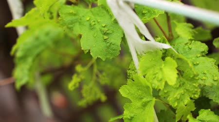 Leaves Of The Grapes Are Tied And Swayed Stock Footage