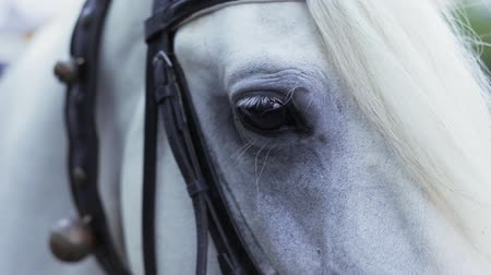 Head Of A Beautiful Harnessed White Horse Stock Footage