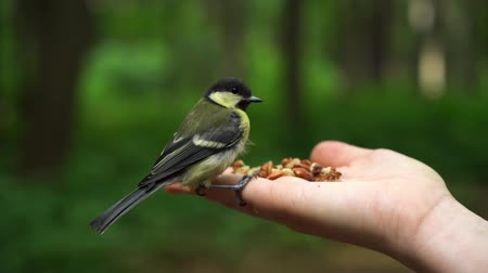 alado : Slow motion tit bird in the forest lands on hand and takes a seed