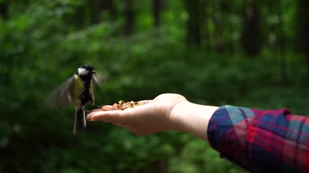 alado : tit bird in the forest flew on woman hand to eat some nuts Slow motion Vídeos