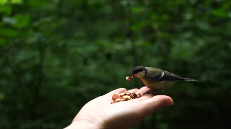 alado : Feeding birds with hands. Nice Tit eats nuts in the forest in the lake or in the river. Slow motion