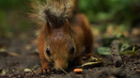 squirrel : Slow motion red squirrel looks into camera, then finds nut and starts eating it.