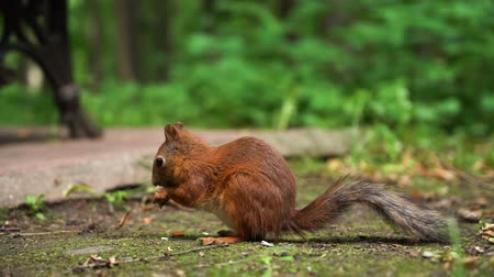 wiewiórka : Slow motion small red squirrel sitting on ground and eating nuts