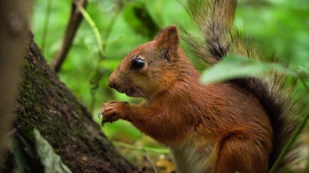 wiewiórka : Cute red squirrel eating nuts, then looking into camera slow motion.