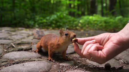 wiewiórka : squirrel chooses nut from the hands of girl. Green spring park background Wideo