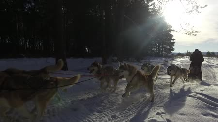 arktický : Siberian husky in a dog team. Running in the forest. Riding in sledge with a siberian husky dog team. Dostupné videozáznamy