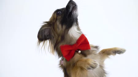 континентальный : Funny dog with red tie dancing on a white background Стоковые видеозаписи