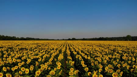 sunflower : Aerial view of nice and yellow sunflowers on sunflower field, cinematic footage.