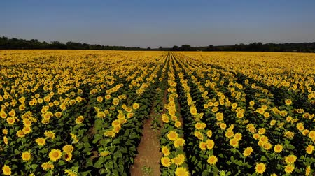 flowers oil : Aerial view of nice and yellow sunflowers on sunflower field, cinematic footage.