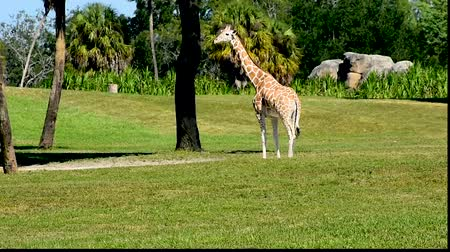 víziló : Tampa, Florida. March 18, 2019. Nice Giraffe on green meadow at Busch Gardens.