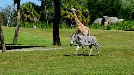 tampa bay : Tampa, Florida. March 19, 2019. Giraffe and Zebra on green meadow at Busch Gardens.