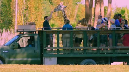 tampa bay : Tampa Bay, Florida. April 25, 2019 People giving leaf of lettuce to giraffe in Serengeti Safari at Busch Gardens. Stock Footage