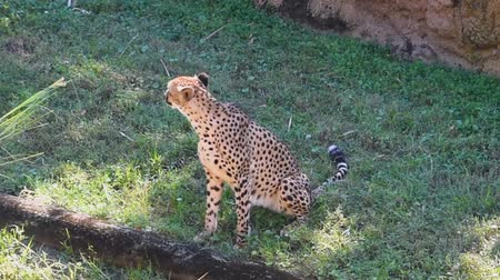 lew : Tampa Bay, Florida. May 18, 2019. Cheetah turning head and walking on green meadow at Busch Gardens.