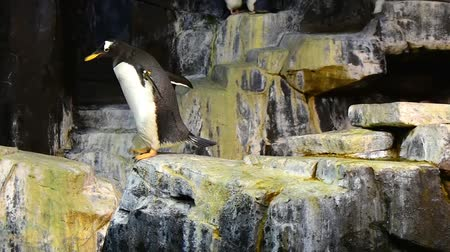 dolphin : Orlando, Florida. May 19, 2019, Funny Emperor Penguin walking on a rock at Seaworld Theme Park. Stock Footage