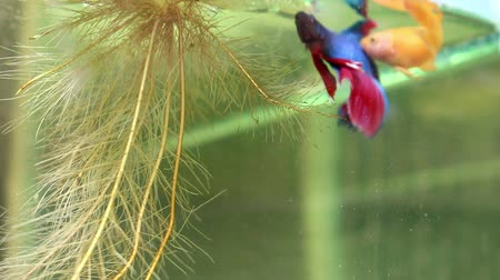 sziámi : Fighting fish are embracing for breeding.
