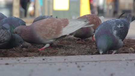 subsistence : Pigeons fighting over food in a manger. St. Petersburg. Russia