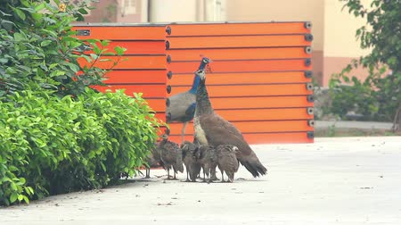 brasão : Peacocks on the street in the Indian city