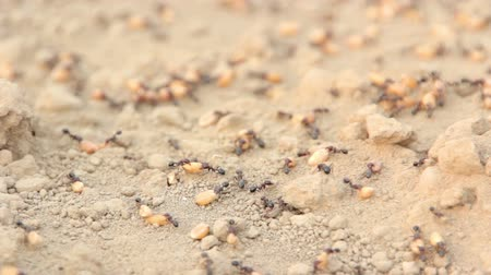 flying ants : Ants are dragging wheat grain Stock Footage