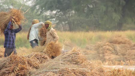 asian and indian ethnicities : Indian farmers manually harvesting rice in India