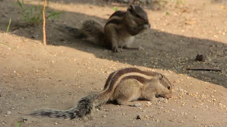 indian squirrel : Indian palm squirrel