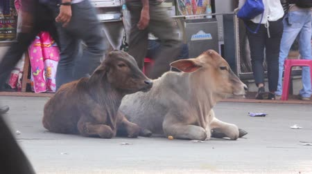 indicus : Cows lie on a city street in India