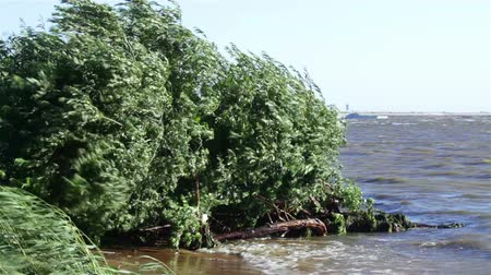 ветер : Strong wind in foliage of trees on the bank of the Gulf of Finland
