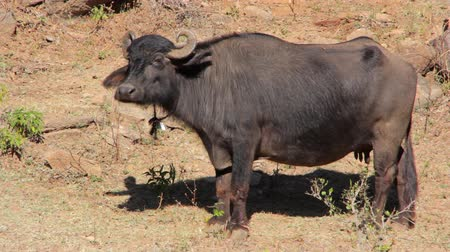 indicus : Indian buffalo graze in the meadow